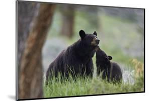 Black Bear (Ursus Americanus), Sow and Yearling Cub, Yellowstone National Park, Wyoming, U.S.A. by James Hager
