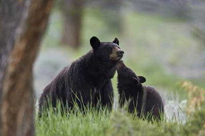Black Bear (Ursus Americanus), Sow and Yearling Cub, Yellowstone National Park, Wyoming, U.S.A.