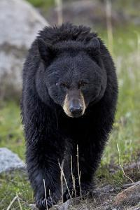 Black Bear (Ursus americanus), Yellowstone National Park, Wyoming, USA, North America by James Hager
