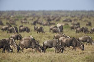 Blue Wildebeest (Brindled Gnu) (Connochaetes Taurinus) Herd by James Hager