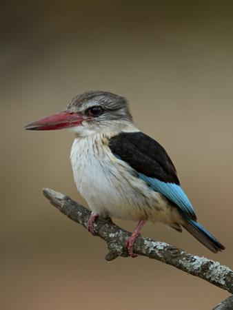 Brown-hooded kingfisher (Halcyon albiventris), Kruger National Park, South Africa, Africa by James Hager