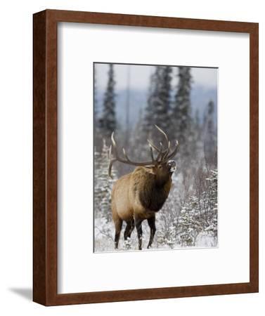 Bull Elk Bugling in the Snow, Jasper National Park, Unesco World Heritage Site, Alberta, Canada