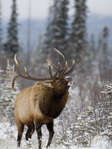 Bull Elk Bugling in the Snow, Jasper National Park, Unesco World Heritage Site, Alberta, Canada by James Hager