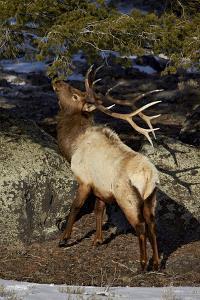 Bull Elk (Cervus Canadensis) Eating Pine Needles by James Hager