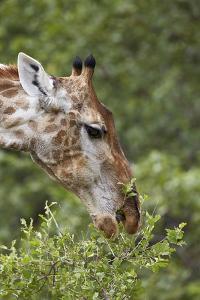 Cape Giraffe (Giraffa Camelopardalis Giraffa) Feeding, Kruger National Park, South Africa, Africa by James Hager