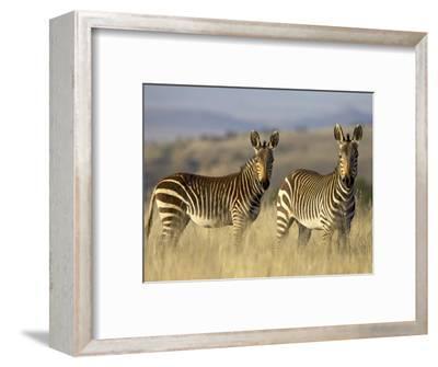 Cape Mountain Zebra, Mountain Zebra National Park, South Africa, Africa