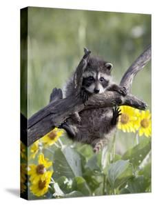 Captive Baby Raccoon, Animals of Montana, Bozeman, Montana, USA by James Hager