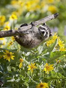 Captive Baby Raccoon Hanging on to a Branch Among Arrowleaf Balsam Root, Bozeman by James Hager