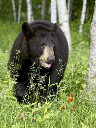Captive Black Bear (Ursus Americanus), Sandstone, Minnesota