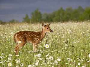 Captive Whitetail Deer Fawn Among Oxeye Daisies, Sandstone, Minnesota, USA by James Hager