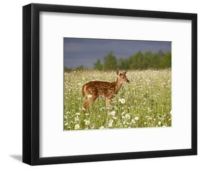 Captive Whitetail Deer Fawn Among Oxeye Daisies, Sandstone, Minnesota, USA