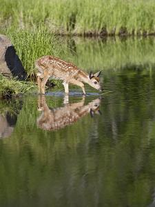 Captive Whitetail Deer Fawn and Reflection, Sandstone, Minnesota, USA by James Hager