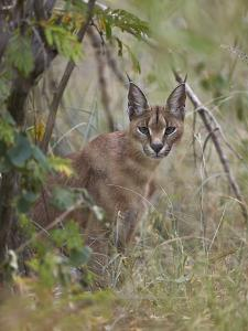 Caracal (Caracal Caracal), Kruger National Park, South Africa, Africa by James Hager
