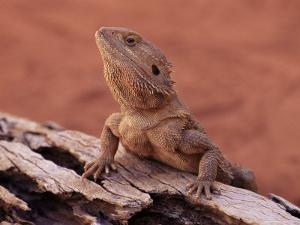 Central Bearded Dragon in Captivity, Alice Springs, Northern Territory, Australia, Pacific by James Hager