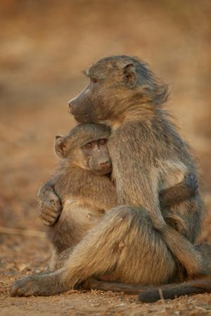 Chacma baboon (Papio ursinus) comforting a young one, Kruger National Park, South Africa, Africa by James Hager