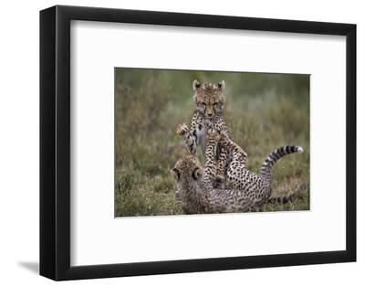 Cheetah (Acinonyx Jubatus) Cubs Playing, Serengeti National Park, Tanzania, East Africa, Africa