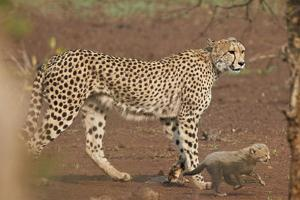 Cheetah (Acinonyx jubatus) mother and cub, Kruger National Park, South Africa, Africa by James Hager