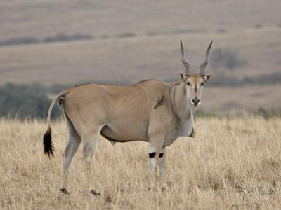 Common Eland with Red-Billed Oxpecker, Masai Mara National Reserve, Kenya, Africa by James Hager
