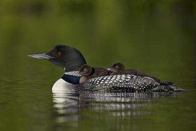 Common Loon (Gavia Immer) Chicks Riding on their Mother's Back, British Columbia, Canada by James Hager