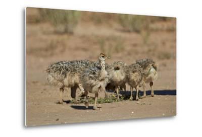 Common Ostrich (Struthio Camelus) Chicks