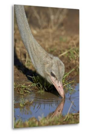 Common Ostrich (Struthio Camelus) Drinking