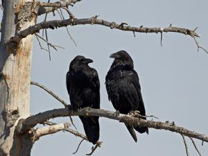 Common Raven (Corvus Corax) Pair, Yellowstone National Park, Wyoming, USA, North America by James Hager