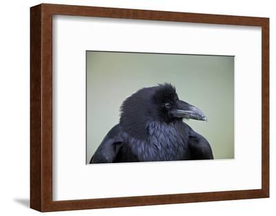 Common Raven (Corvus Corax), Yellowstone National Park, Wyoming, United States of America