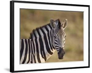 Common Zebra (Plains Zebra) (Burchell's Zebra) (Equus Burchelli) by James Hager