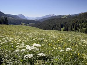 Cow Parsnip and Alpine Sunflower with Crested Butte in Distance, Washington Gulch, Colorado, USA by James Hager