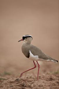 Crowned Plover (Crowned Lapwing) (Vanellus Coronatus) by James Hager
