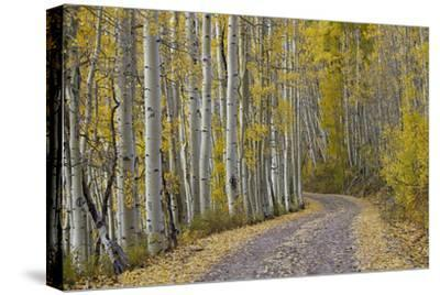 Dirt Road Through Yellow Aspen in the Fall