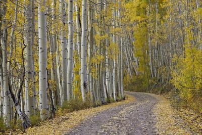 Dirt Road Through Yellow Aspen in the Fall