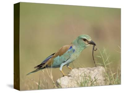 European Roller with a Worm, Serengeti National Park, Tanzania, East Africa