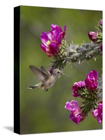 Female Broad-Tailed Hummingbird (Selasphorus Platycercus) Feeding at a Walkingstick (Cane) Cholla