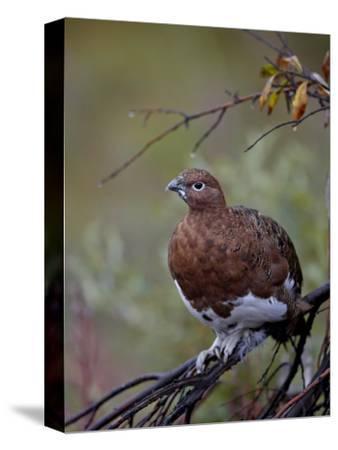 Female Willow Ptarmigan, Denali National Park and Preserve, Alaska, United States of America