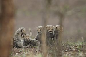 Five cheetah (Acinonyx jubatus) cubs, Kruger National Park, South Africa, Africa by James Hager