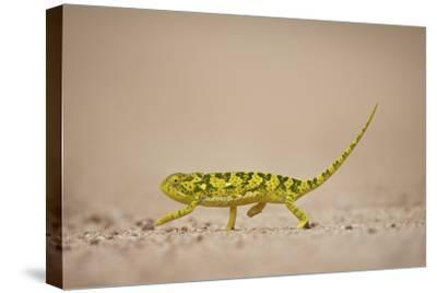 Flap-Necked Chameleon (Flap Neck Chameleon) (Chamaeleo Dilepis), Kruger National Park, South Africa