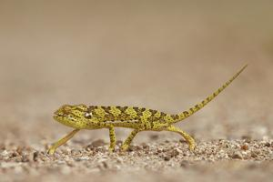 Flap-Necked Chameleon (Flap Neck Chameleon) (Chamaeleo Dilepis), Kruger National Park, South Africa by James Hager