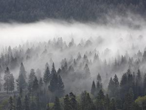 Fog Mingling with Evergreen Trees, Yellowstone Nat'l Park, UNESCO World Heritage Site, Wyoming, USA by James Hager