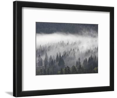 Fog Mingling with Evergreen Trees, Yellowstone Nat'l Park, UNESCO World Heritage Site, Wyoming, USA