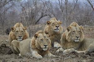 Four male Lion (Panthera leo), Kruger National Park, South Africa, Africa by James Hager