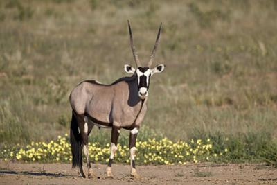 Gemsbok (South African Oryx) (Oryx gazella) buck, Kgalagadi Transfrontier Park, South Africa, Afric by James Hager