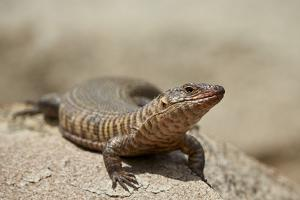 Giant Plated Lizard (Gerrhosaurus Validus), Kruger National Park, South Africa, Africa by James Hager
