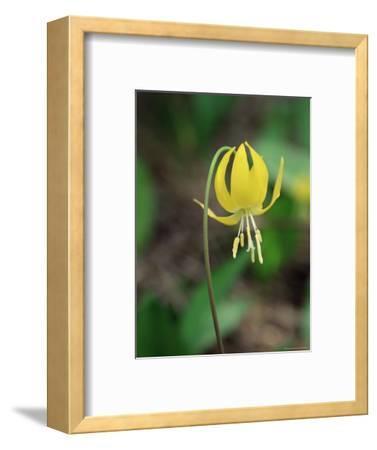 Glacier Lily (Dogtooth Violet) (Erythronium Grandiflorum), Glacier National Park, Montana
