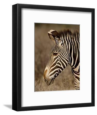 Grevy's Zebra (Equus Grevyi), Samburu National Reserve, Kenya, East Africa, Africa