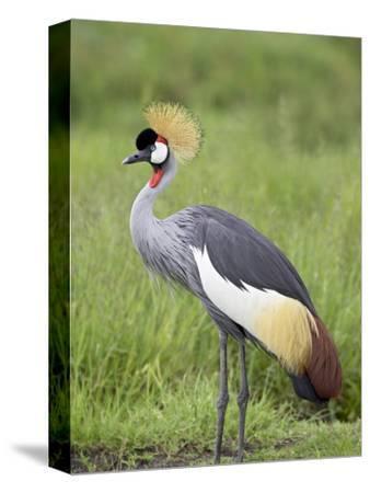 Grey Crowned Crane, Serengeti National Park, Tanzania, East Africa