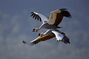 Grey Crowned Crane (Southern Crowned Crane) (Balearica Regulorum) Pair in Flight by James Hager