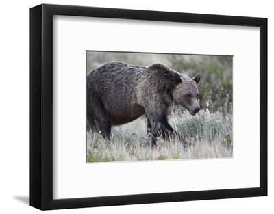 Grizzly Bear (Ursus Arctos Horribilis), Glacier National Park, Montana, United States of America