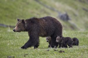 Grizzly Bear (Ursus Arctos Horribilis) Sow and Three Cubs of the Year, Yellowstone National Park by James Hager