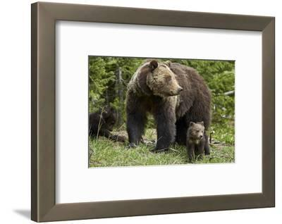 Grizzly Bear (Ursus Arctos Horribilis) Sow and Two Cubs of the Year, Yellowstone National Park